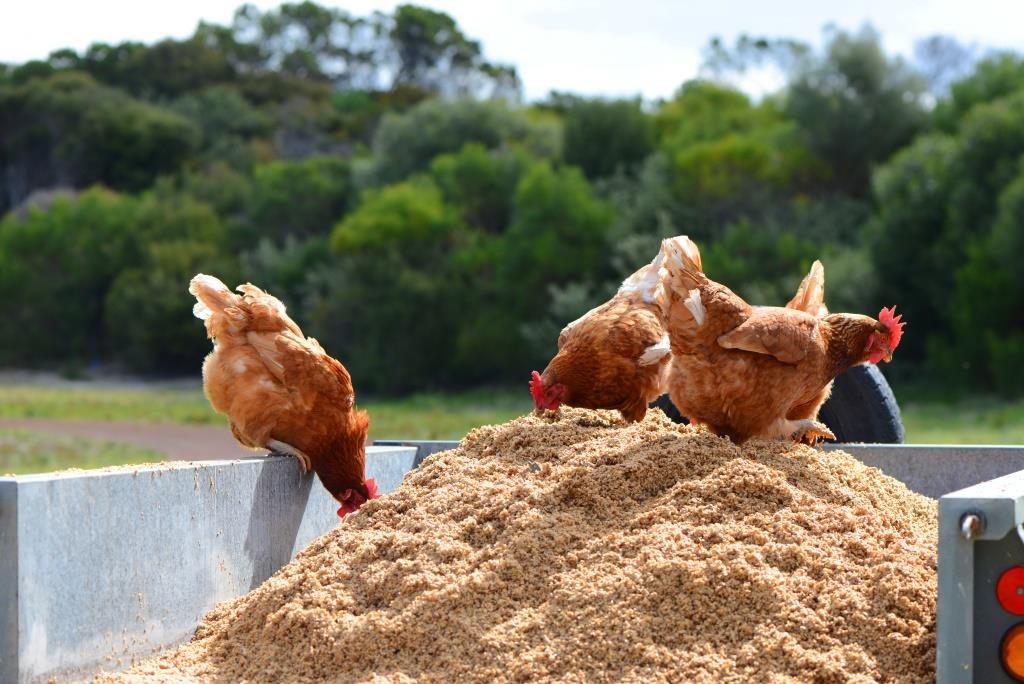 chickens, brewers mash