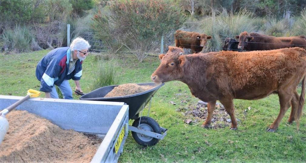 Cows eating spent grain from Lucky Bay Brewing